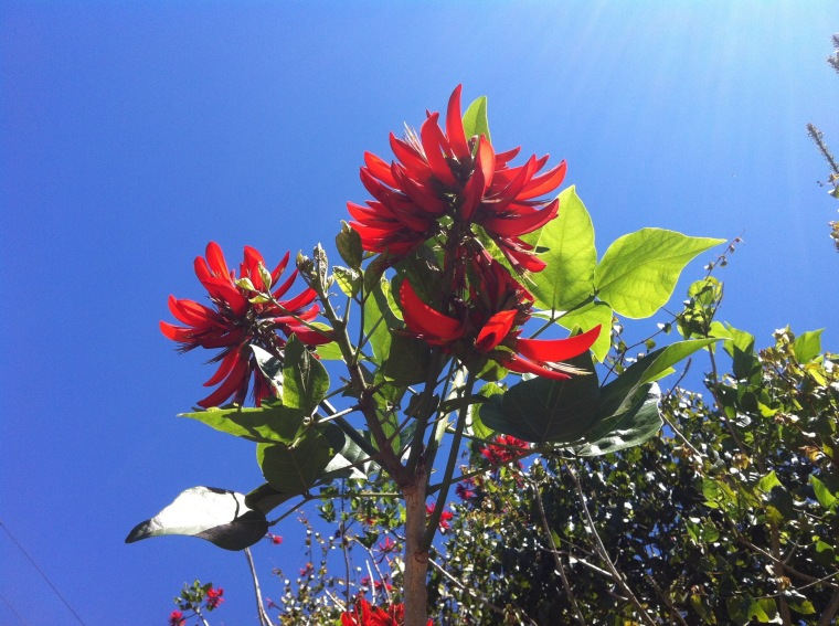 Coral tree flower against the sky