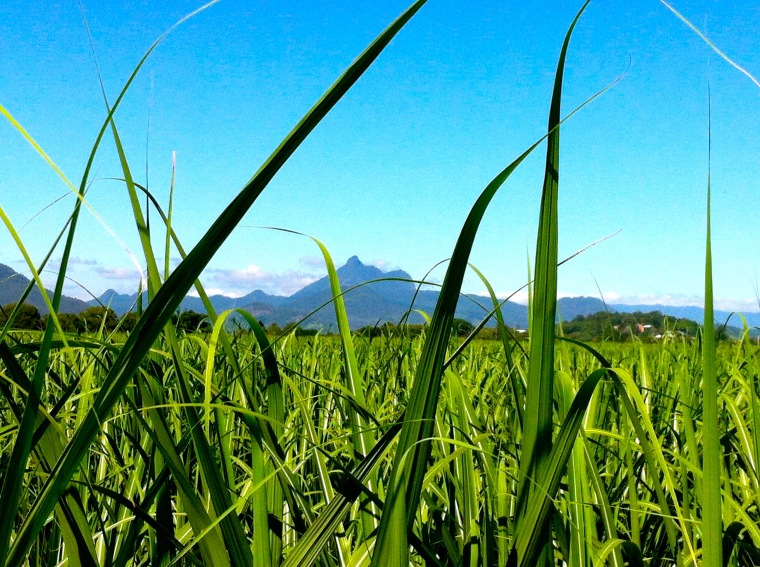 Mount Warning seen from the sugar cane fields.