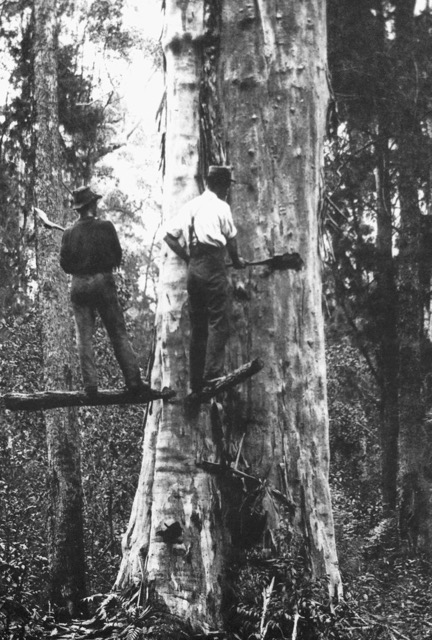 Two men standing on a plank cutting down a tree