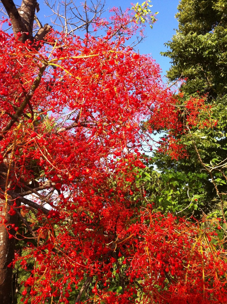 Illawarra flame tree in full bloom